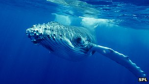 Humpback whale (library image)