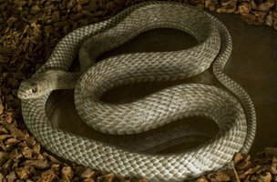 Coachwhip snake (Masticophis flagellum)