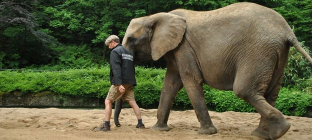Elephant being walked along a sandy trackway in a zoo