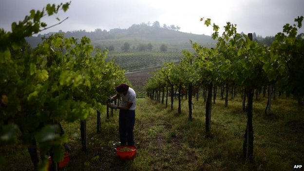 Employees in a vineyard in Zenevredo, northern Italy (16 September 2013)