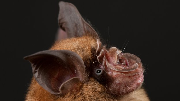 Chinese horseshoe bat      Dr. Libiao Zhang, Guangdong Entomological Institute/South China Institute of Endangered Animals