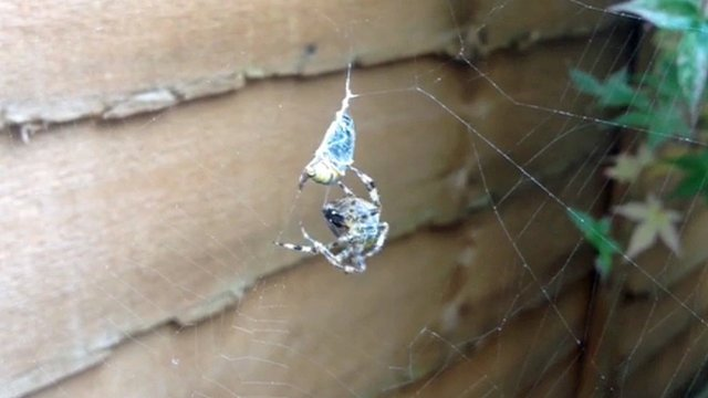 A garden spider and its prey