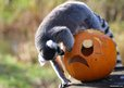 ring tailed lemur exploring pumpkin