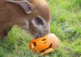 Red river hog with pumpkin