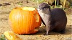 Otter next to a pumpkin
