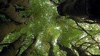 Multi-stemmed beech tree (Image: BBC)