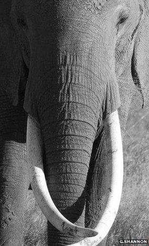 African elephant (Image: Graeme Shannon)