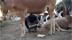 A man in Abyei washes his hands in a bull's urine - Thursday 31 October 2013