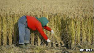 File photo: a farmer harvests paddy in a farmland on the outskirts of Shenyang, Liaoning province, 9 October 2008