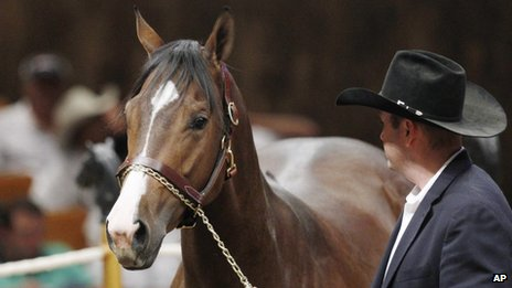 File photo from 1 November 2012 of A Dash of Sweet Heat being led into the sales ring in Oklahoma City