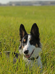 Sky the collie