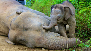 Pygmy elephant next to its dead mother