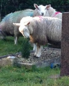 Sheep in graveyard