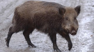Forest of Dean wild boar