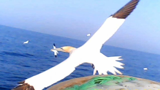 Gannet cam captures bird's eye view