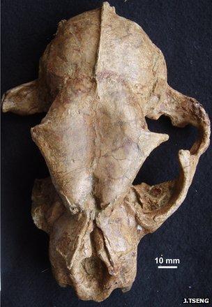 Fossil skull of Panthera blytheae