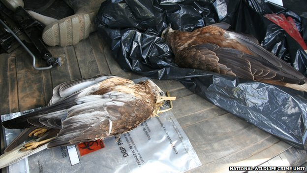 Marsh harriers found in Cambridgeshire