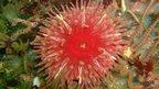 Dahlia anemone