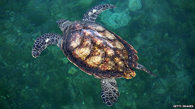 Sea turtle in Reunion