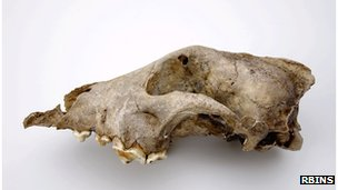 Palaeolithic dog from the Goyet cave (Belgium)