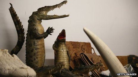Taxidermy alligators