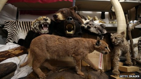 Taxidermy animals