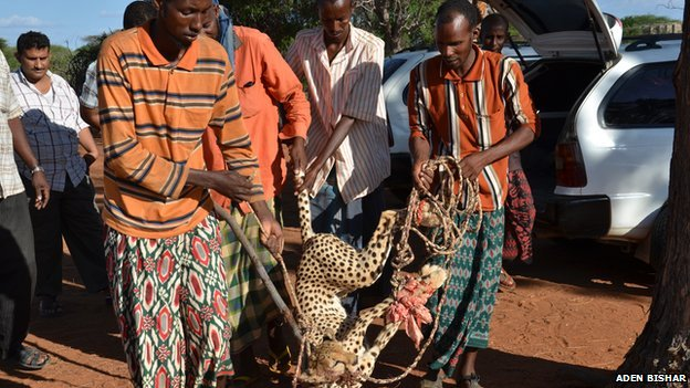 cheetahs captured after chase