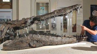 Pliosaur fossil
