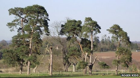 Line of Scots pine trees