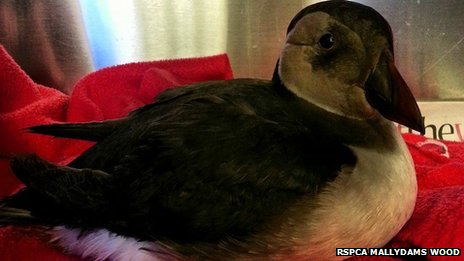 Puffin found in Strood