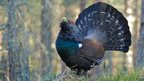 Capercaillie by John McHale