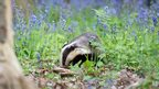 Badger in Blue by Penelope Malby