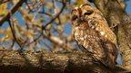 Tawny owl by Darren Ritson