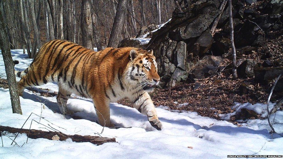 _71266558_tiger.jpg