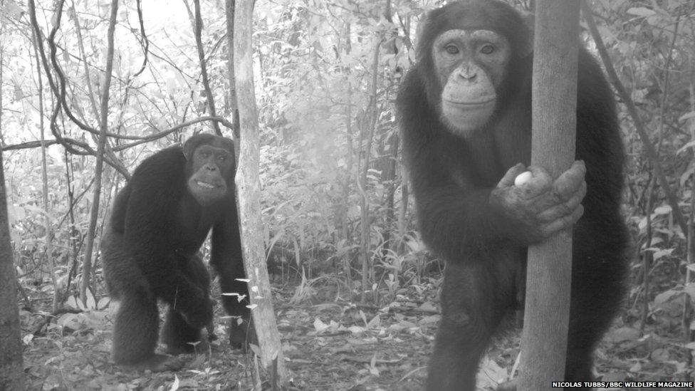 _71267978_chimpanzees.jpg