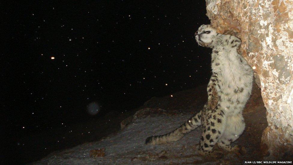 _71267979_snowleopard.jpg
