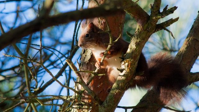 Red squirrel (c) Victoria Gill