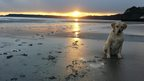 A golden labrador sits to the right of the picture on a beach. The sun is setting behind a headland and the sea can be seen.