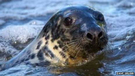 Keith the seal swimming
