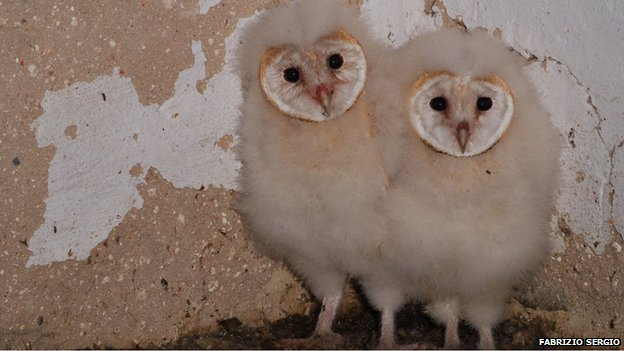 Barn owl nestlings