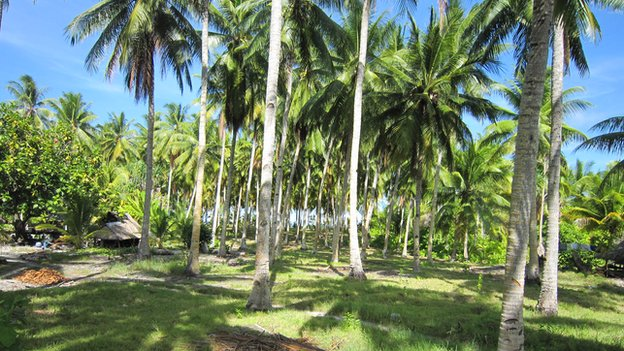The future of Abaiang's coconuts is uncertain