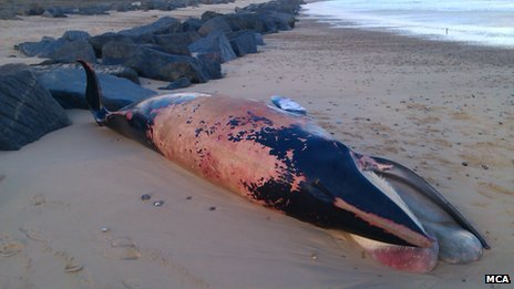 Minke whale, Sea Palling beach, Norfolk