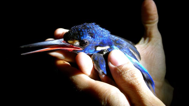 Blue-eared kingfisher – one of 271 species of birds spotted for the wildlife survey