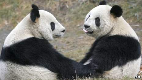 Two pandas looking at each other