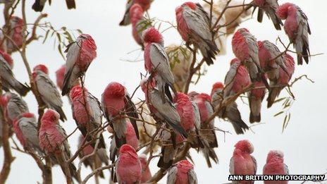 Galahs in Australia