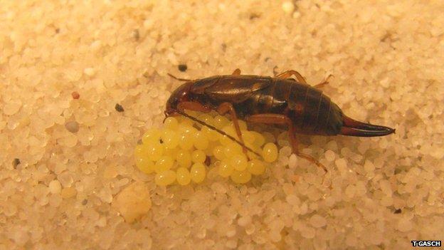 Female earwig Forficula auricularia tending her clutch of eggs