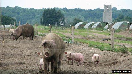 Pigs at Blythburgh