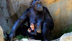 Mother and baby chimpanzees at Los Angeles Zoo on 4 September 2013