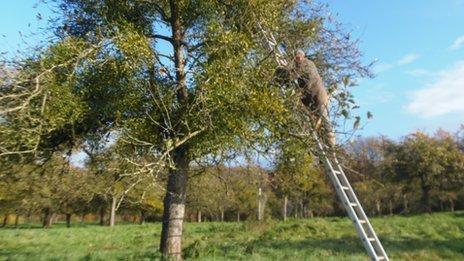 Man up a ladder picking mistletoe