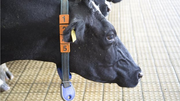 Cow with electronic necklace
